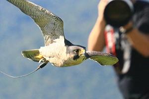 Canon EOS 70D: autofocus alla prova con la falconeria